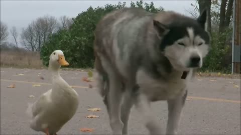 Husky and duck forge bond, become Best Friends 'Furever'